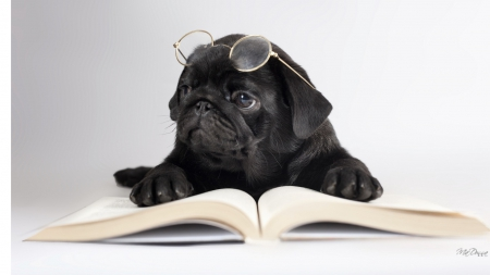 Boring Book - books, glasses, smart, cute, reading, whimsical, library, simple, pup, pug, puppy, dog