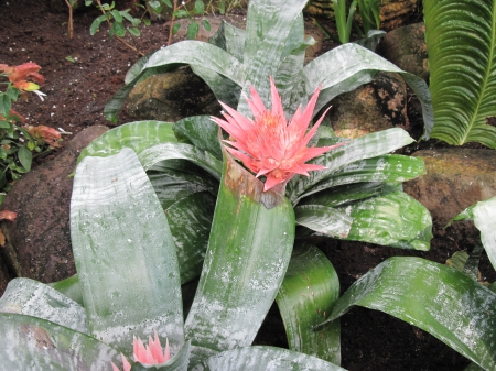 Attractive Flowers at the garden 72 - garden, Flowers, Bromeliads, pink, photography, green