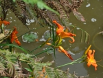 Orange Day Lilies Flowers over a pond and waterfall England
