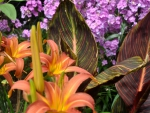 Day Lilies and Canna Tropicana Foliage and Flowers - English Garden