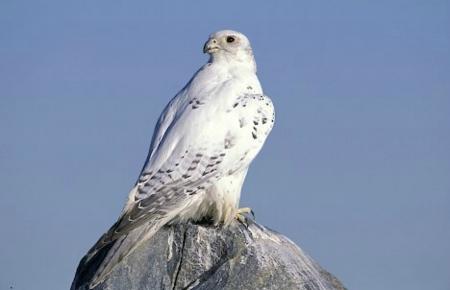 The White Peregrine Falcon - Birds & Animals Background ...