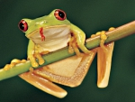YELLOW TREE FROG