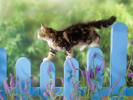 Kitten - fence, grass, animal, sweet, houscat, fences, flowers, other, animals, blue, balance, jumping, cat, cute, picket, meow, garden, walking, nature, blue fence, cats, kitten