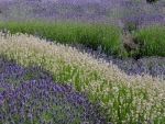 Lavender fields in July in England UK