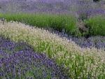 Lavender fields in July in England UK