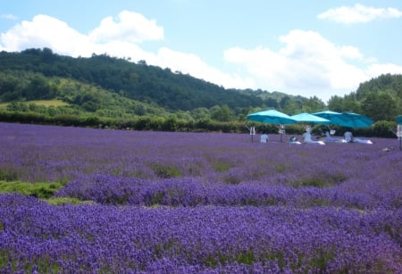 Spa Lavender Massages in an English Lavender Field in July UK - zen, britain, of, massages, retreat, kent, lavender, beautiful, countryside, farm, english, massage, rural, british, england, scent, uk, meditate, purple, united kingdom, smell, spa, garden, great, field