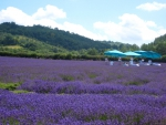 Spa Lavender Massages in an English Lavender Field in July UK