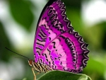 Fuschia Butterfly
