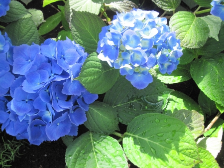 flowers in the mix 100 - photography, green, garden, hydrangeas, Flowers, Blue, leaf