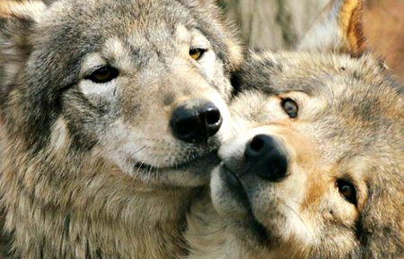 Image of: Cute Love Cute Love Wolf Kiss Couple Dog Animal Animal Wallpapers Desktop Nexus Love Dogs Animals Background Wallpapers On Desktop Nexus image