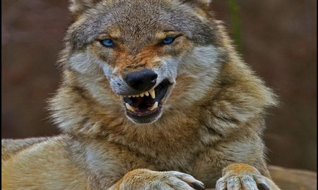 Angry Wolf Other Animals Background Wallpapers On