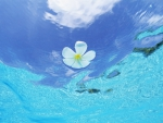 White Plumeria Frangipani floats on clear blue waters of The South Pacific Islands