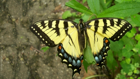 A Special Tiger Swallowtail: 2nd of Two - Striped, Summer, Tiger Swallowtail, co11ie, yellow, beautiful, Swallowtail, clovers, leaves, butterfly, pathway, spots, green, Spring, blue, black, butterf1ies, butterflys, Springtime