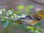 Goldfinch Bird Live in Pacific Northwest, Midwest and Eastern States