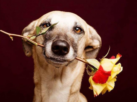 Rose for you - rose, love, beautiful, face, funny, dog