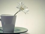 *** White daisy ***