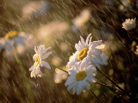 RAINY DAY DAISIES - wet, beautiful, daytime, close up, flowers, fields, natual scene, gorgeous, lovely, sunlight, golden, photos, rainy, daisies, field flowers, sunrays, macro, nature, rain