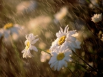 RAINY DAY DAISIES