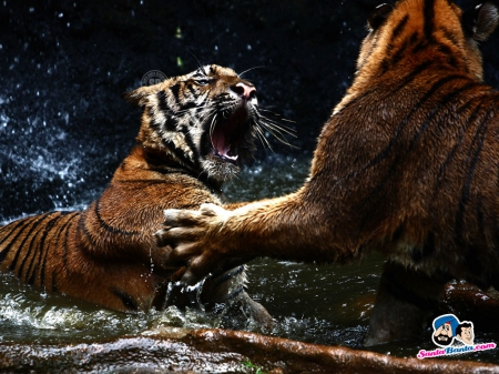 Tiger Fight - tigers, fight, mean, wild