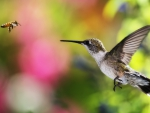 Hummingbird and Bee Hovering Live from Alaska down to Chile