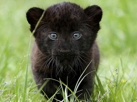 Little Black Panther