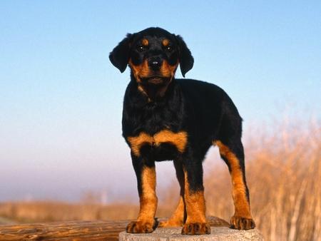 Doberman Puppy - Dogs & Animals