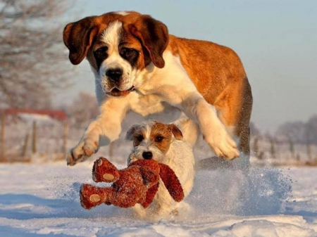 Playful Puppy - cute, snow, teddy, mom, toy, running, funny, puppy