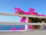 Bougainvillea Exotic Flowers Growing by the Sea