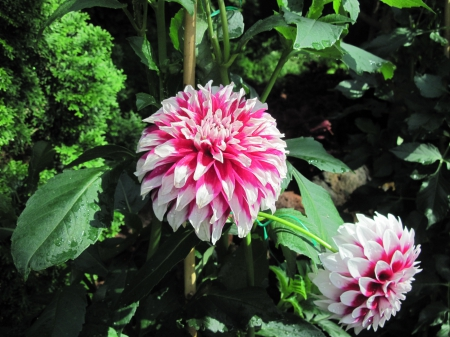 Exotic flowers at the pyramids 58 - red, photography, green, Dahlia, garden, Flowers, white