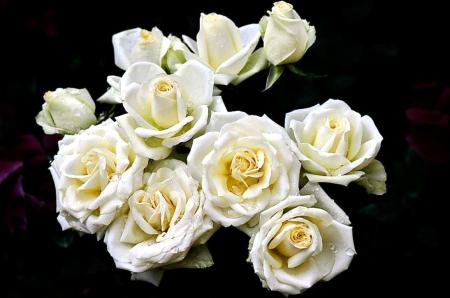 White roses flowers nature background wallpapers on desktop white roses flowers roses white purity mightylinksfo