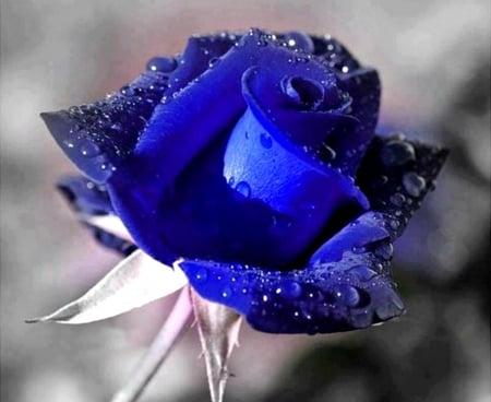 Blue Rose Flowers Nature Background Wallpapers On Desktop Nexus