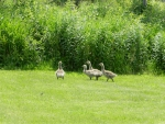 Young Canada Goslings #1