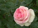 a pink rose with some Raindrops on it
