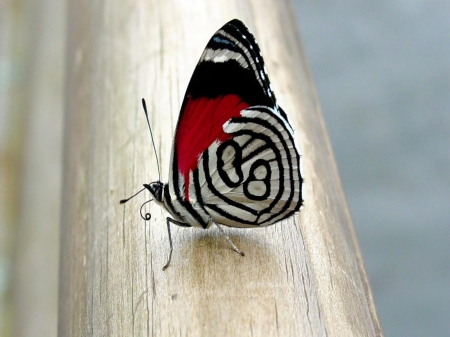 butterfly - wings, butterfly, black, white, delicate