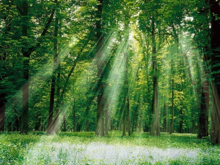 Forest light - forest, hd, light, green, tree, nature