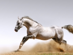 Arabian Horse from England
