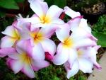 Beautiful plumeria