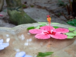 Hibiscus in stone Bowl