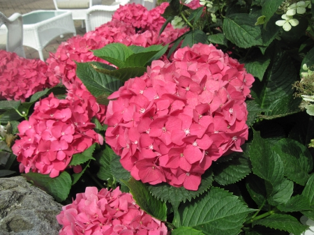 A Flower cannot blossom without Sunshine 27 - photography, Red, green, garden, hydrangeas, Flowers