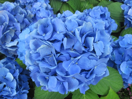 A Flower cannot blossom without Sunshine 28 - photography, green, garden, hydrangeas, Flowers, Blue