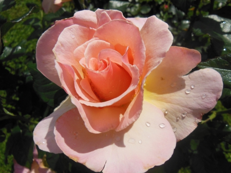 Beautiful rose - water, peach, drops, rose