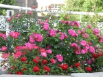 Brampton Ontario Canada -flowers at city hall #3