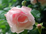 Rain upon the rose - for Barb