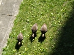 wild baby turkeys