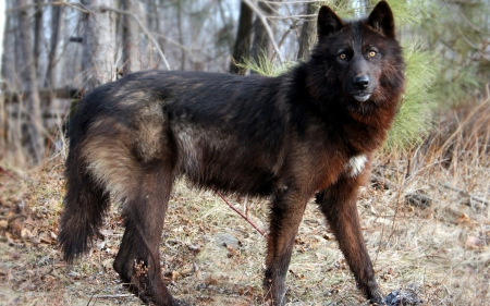 Fantastic Black Wolf Wallpaper Other Animals Background