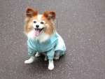 Butterfly dog wear a raincoat