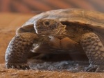 Mojave Desert, Desert Tortoise
