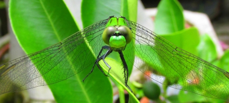 Green Dragonfly Macro Photo - cute, prettyy, summer, dragonfly