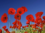 Common poppies
