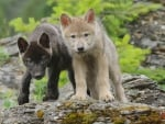 wolf pups